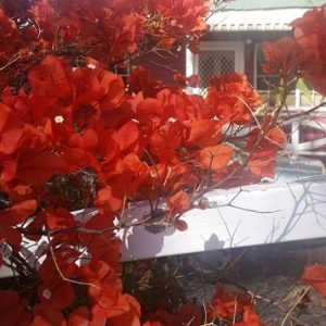 Bougainvillea front house